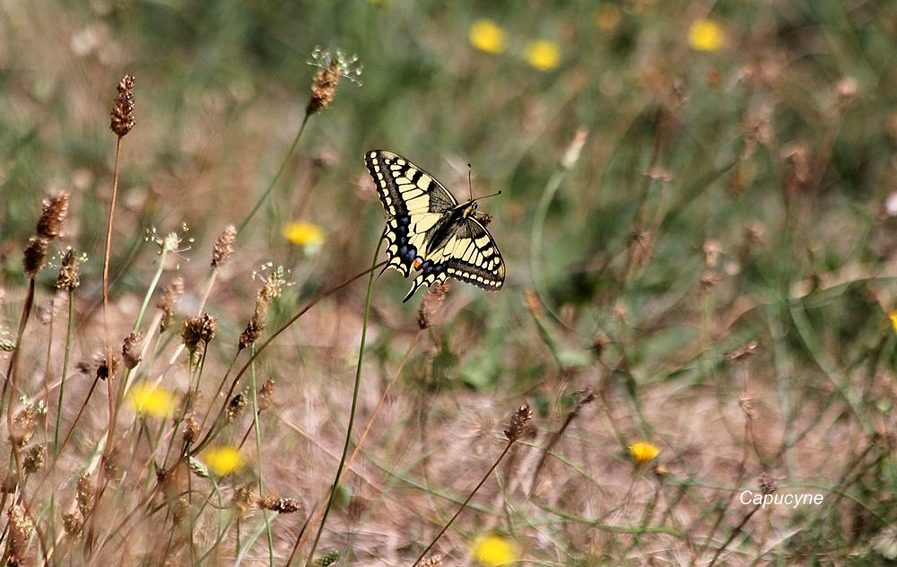 Un papillon-vitrail : le machaon