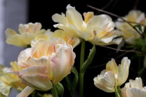 Tulipes Charming Lady4