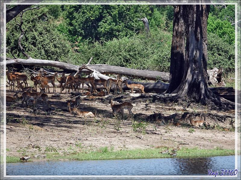 Impalas (Aepyceros melampus) - Safari nautique - Parc National de Chobe - Botswana