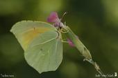 Citron de Provence ♂ (Gonepteryx cleopatra) - Pieridae