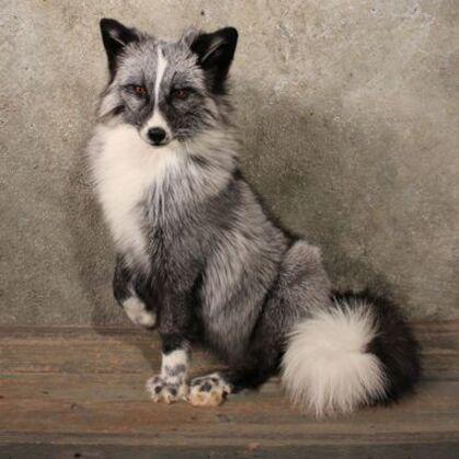 (Animaux Diverses): le renard argenté domestique !