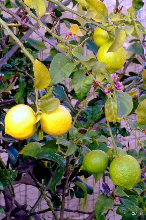 De beaux citrons