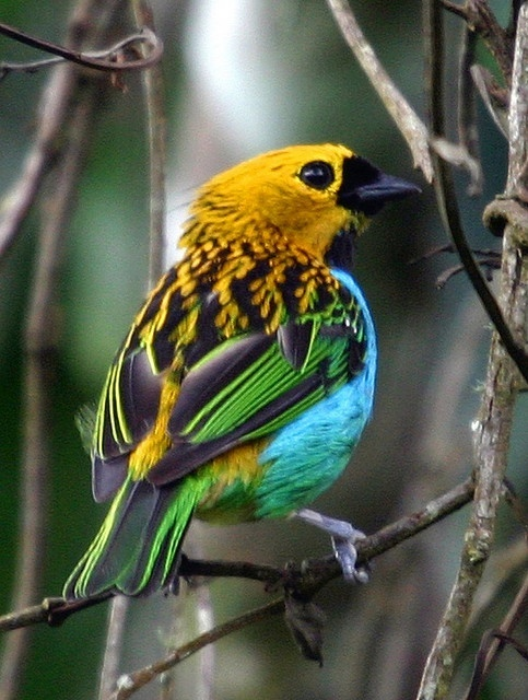 The Gilt-edged Tanager from Brazil, by Bertrando on flickr,