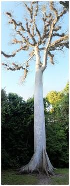 Le Ceiba, arbre sacré, emblème du Guatemela
