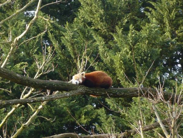 Beauval-panda-roux