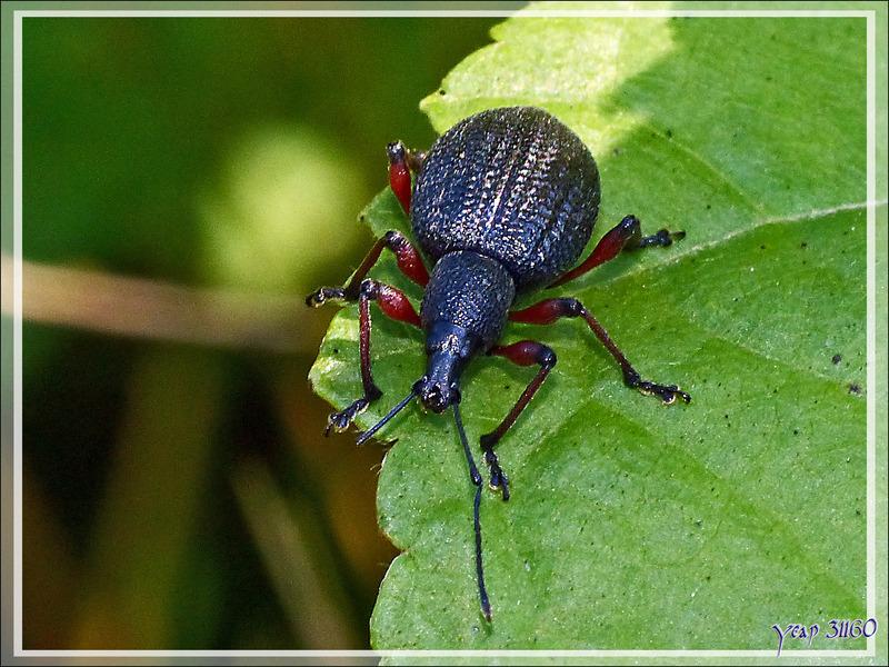 Charançon Otiorhynque (Otiorhynchus sp., peut-être fuscipes) - Milhas - 31
