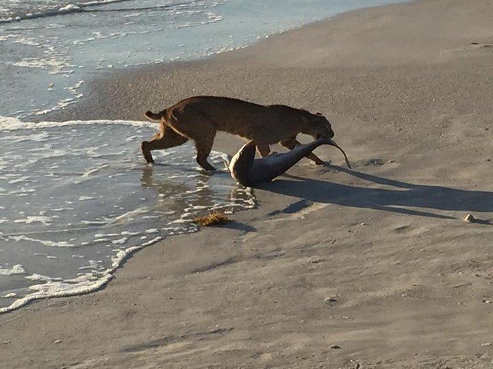 Un lynx sort un requin de la mer
