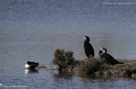 Grand cormoran et Canard souchet