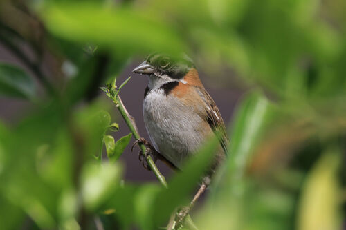 Bruant chingolo (Rufous-collared Sparrow)