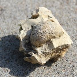 Oignon fossilisé encastré dans une pierre