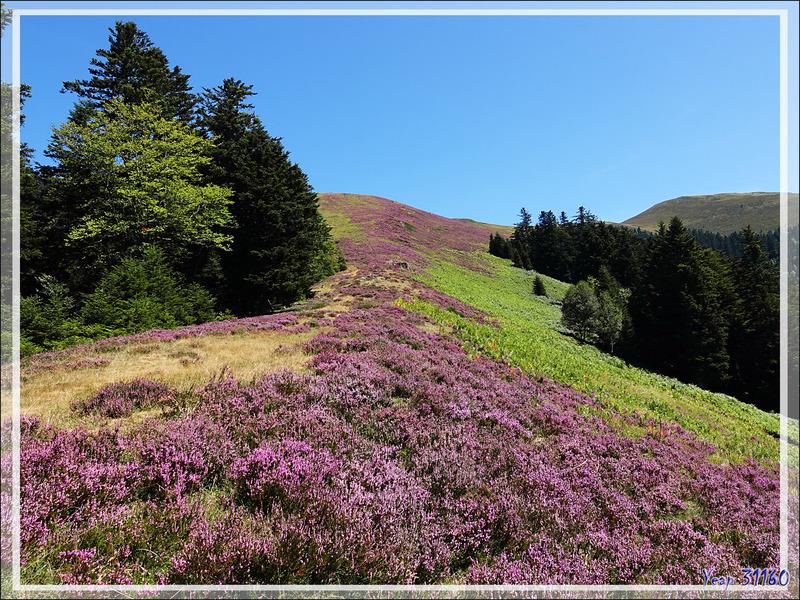 Bruyères en fleurs - Artigue - 31