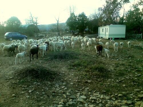 Les agneaux  de bernard