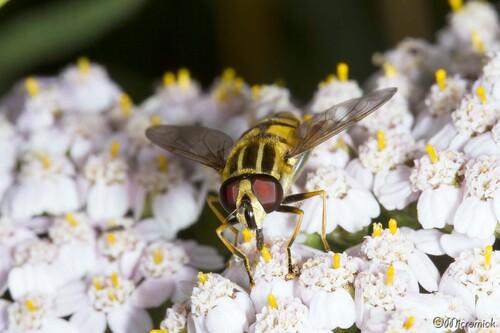 Syrphe Helophilus pendulus, (l'hélophile suspendu)