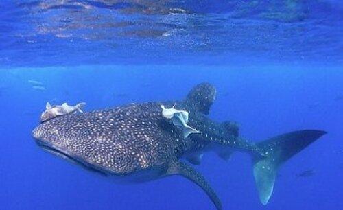 ~ Les Requins-Baleines Des Galàpagos (2012-2015)