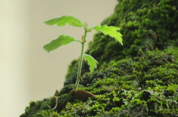 Comment faire pousser un chêne à partir d'un gland – Jardins et potagers