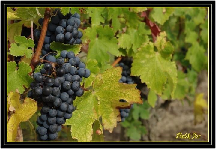 L'automne dans les vignes