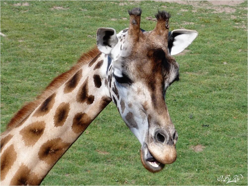 Giraffa camelopardalis ...