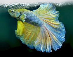Dessin et peinture - vidéo 1568 : Dessiner et peindre un poisson