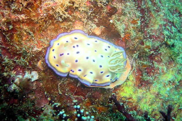 Espérance de vie des nudibranches