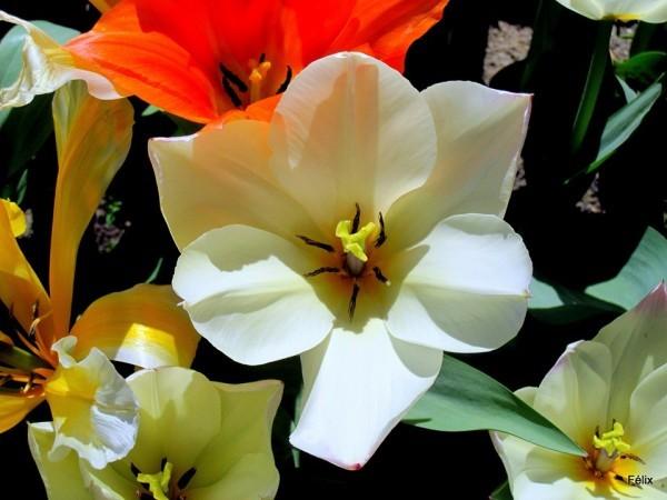 M01 - Tulipe blanche