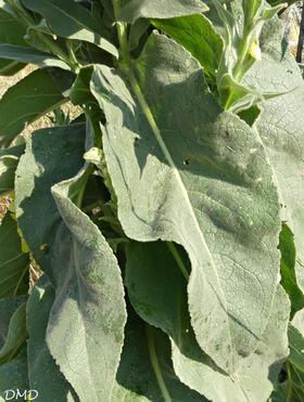 Verbascum densiflorum  = Verbascum thapsiforme  -  verbascum à fleurs denses