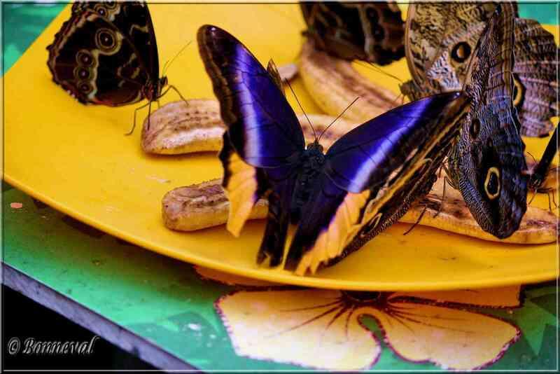 Papillons tropicaux Calogo atreus