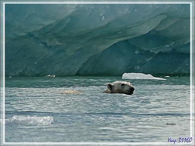 L'ourse et son gros ourson de Croker Bay - Devon Island - Nunavut - Canada