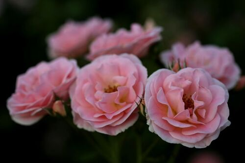 Les Roses de Warren : Sea of Pink