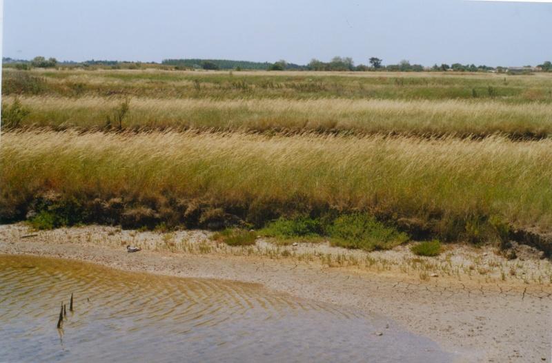 Roseaux dans les marais de l'Île de Ré, juin 2005