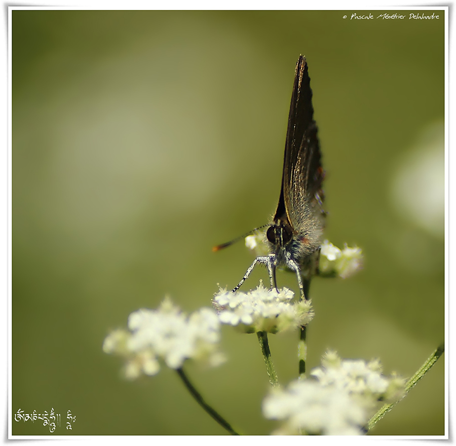 Thècle des nerpruns - Satyrium spini - Lycaenidae & Thécla de l'yeuse (Satyrium ilicis) - Lycaenidae