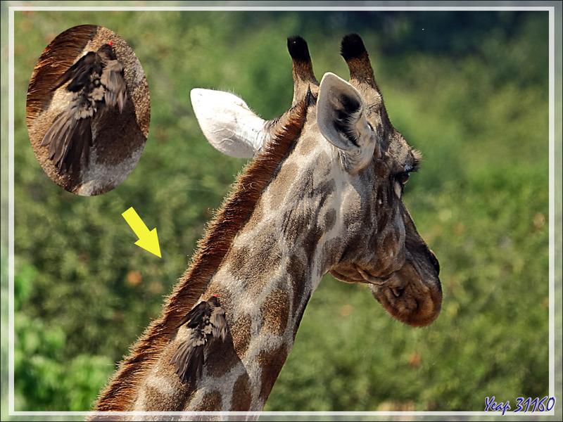 Girafe du Cap (Giraffa giraffa) - Safari terrestre - Parc National de Chobe - Botswana