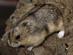 hamster de campbell campbelli