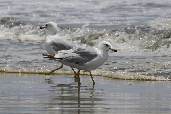 Ring-billed Gull - Long Beach
