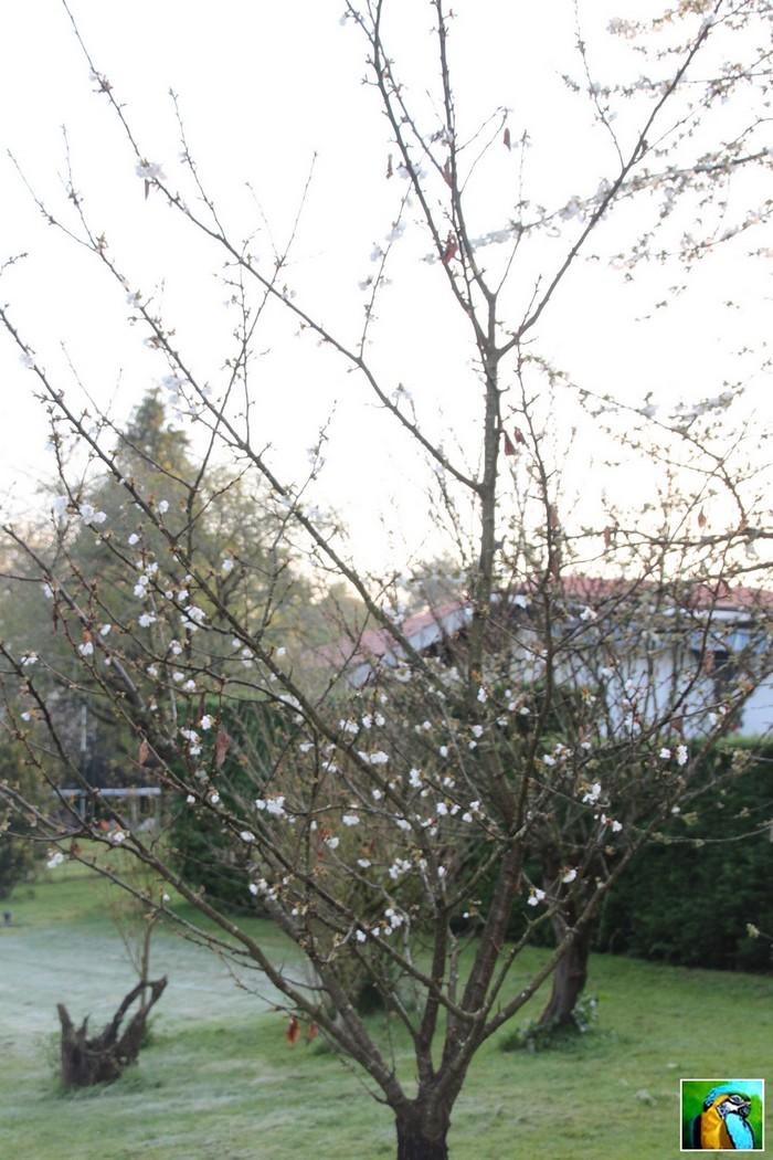 Cerisier !