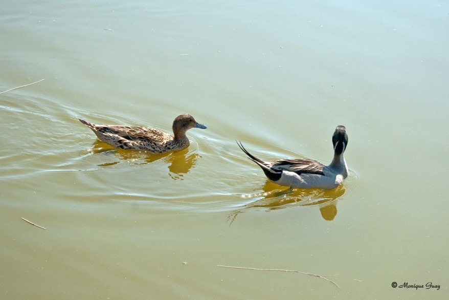 couple-canard-pilet-2682.jpg