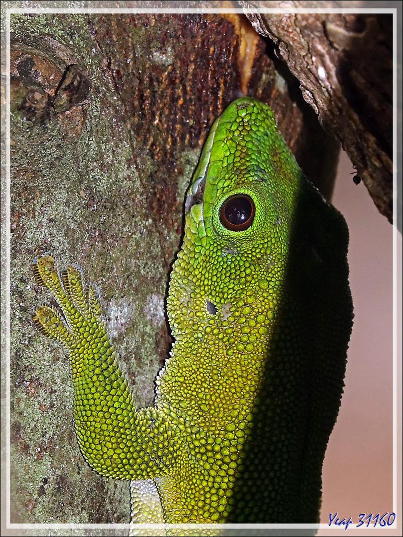 Promenade dans la forêt de Nosy Sakatia : Rencontre avec un Géant vert, probablement un vieux pépère ... Gecko géant de Madagascar (Phelsuma madagascariensis) - Madagascar