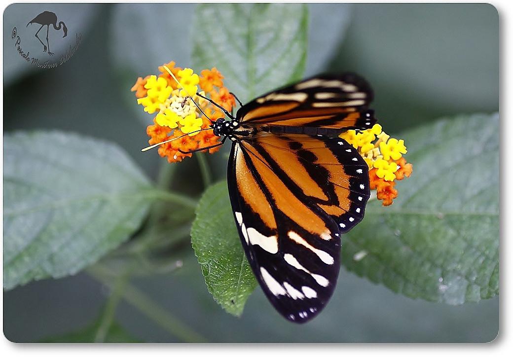 Heliconius ismenius (Oeil du tigre) - Nymphalidae