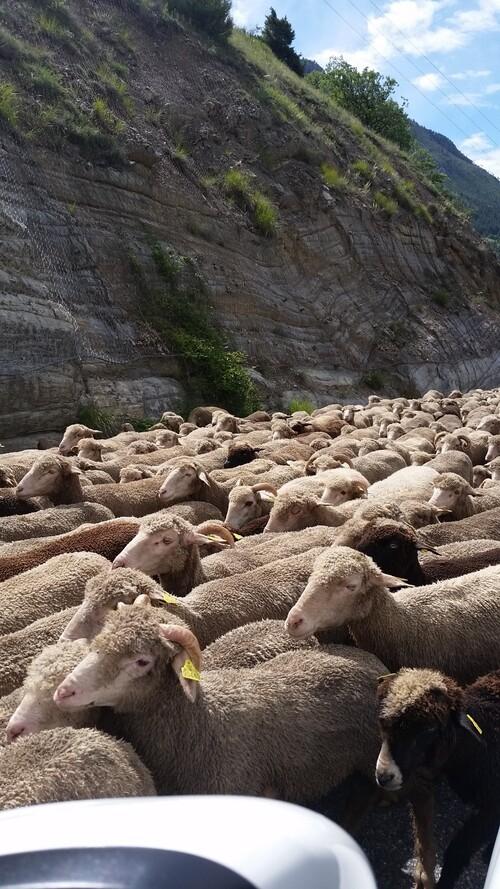 Arrivée des moutons à l'alpage.