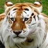 Tigre doré