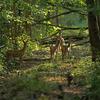 Chevreuils européens (1er octobre 2017 Forêt de Villefermoy © Gérard Foy)
