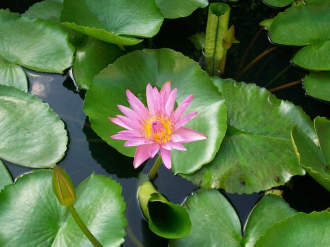 agua, natureza, plantar, folha, flor, pétala