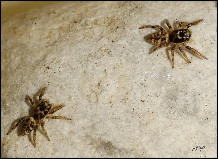 Salticus cingulatus.