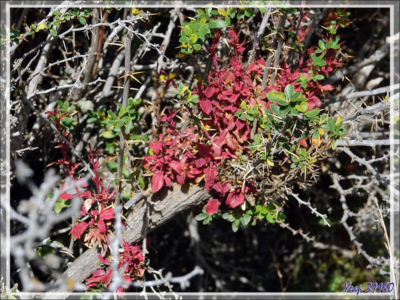 Rouille du calafate, Balai de sorcière (Aecidium magellanicum) - Lac Acigami - Lapataia - Terre de Feu - Argentine