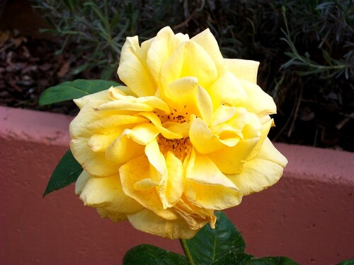 Photos, macro, fleur, rose jaune