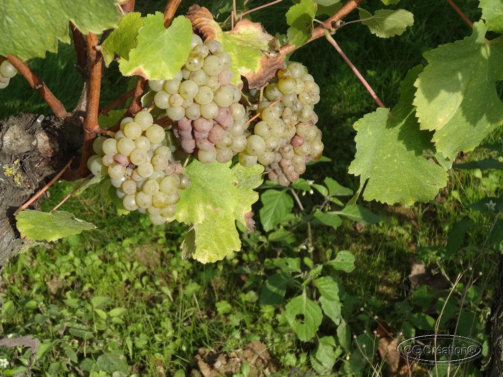 Dimanche après midi dans les vignes ...