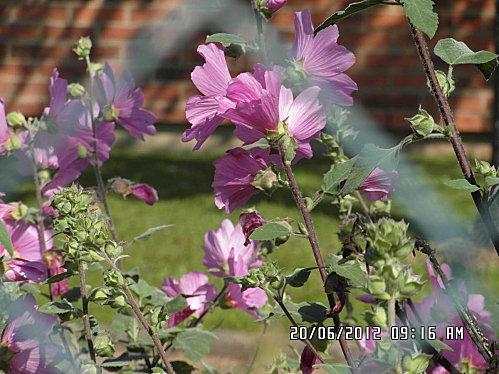 fleurs-20-Juin-006.JPG