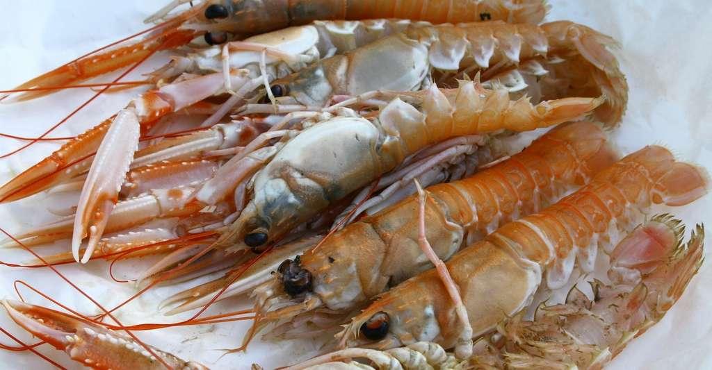 Comme les homards, les langoustines — ici en photo — et les écrevisses disposent de pinces. © AnnRos, Pixabay, CC0 Public Domain