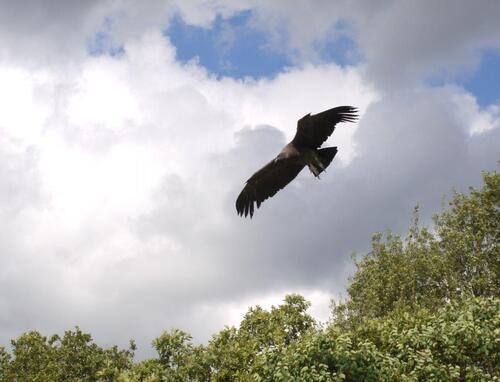 Il replie ses ailes et descend en piqut