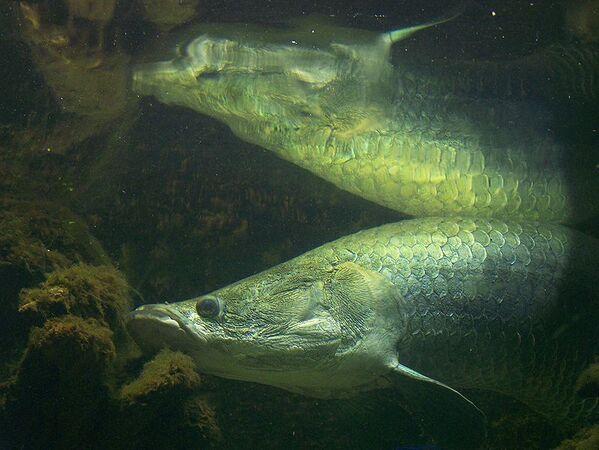 Appelé aussi pirarucu, l'arapaima possède un poumon primitif, en plus de ses branchies, qui lui permettent de respirer hors de l'eau. Une fonction adaptée à son environnement aquatique pauvre en oxygène, mais qui le rend vulnérable : les poissons s'oxygènent régulièrement en surface où ils sont facilement harponnés par les pécheurs locaux. © T. Voekler, Wikimedia Commons, cc by sa 3.0
