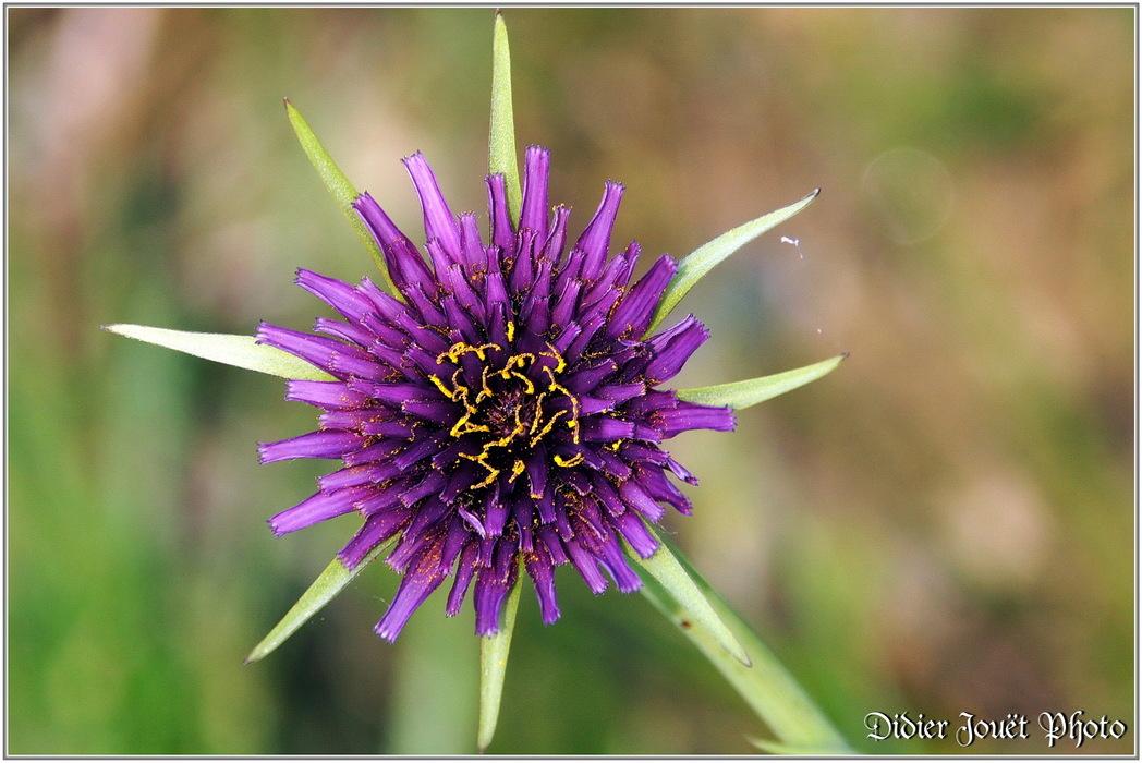 Salsifis Cultivé / Tragopogon porrifolium